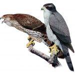 معلومات عن طائر باز شمالي