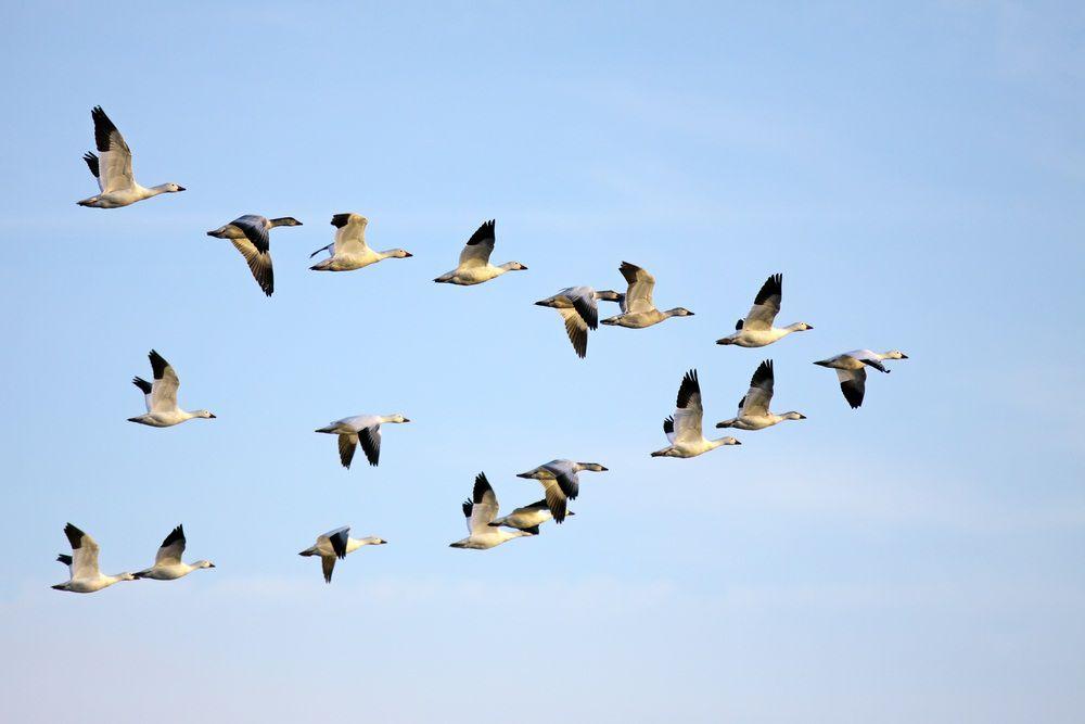 هجرة الطيور