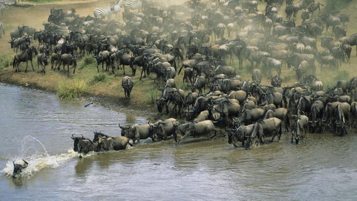 Animals migrate