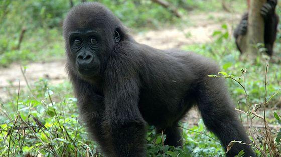 Gabon animals