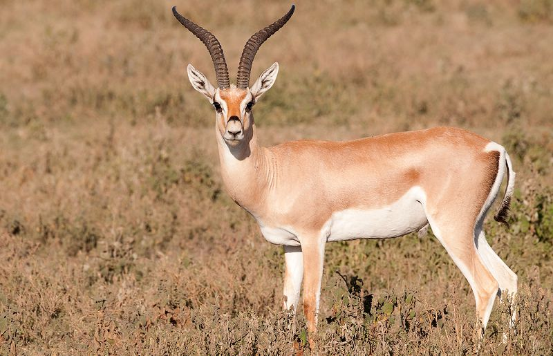 Grants Gazelle Gazella granti in Tanzania