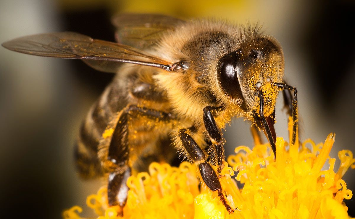 Honey bees communicate using specific dance