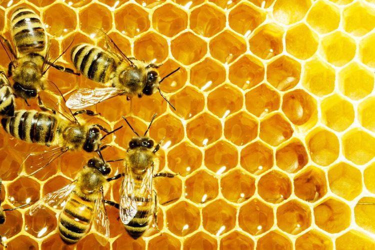 النحل هو نوع من الحشرات