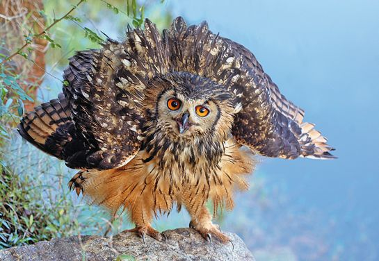 Indian eagle owl life