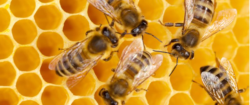 Lifespan of honey bees depends on the type of a bee