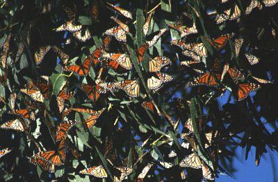 الفراشات والسبات الشتوي
