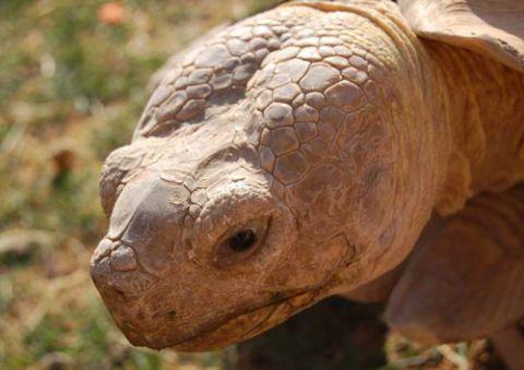 Sulcata tortoise