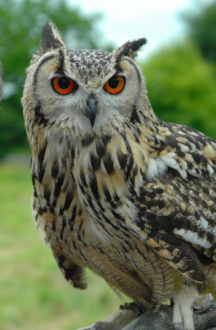 Indian eagle owl produces resonant