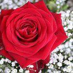 كيفية زراعة الورد الجوري