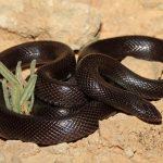 معلومات عن الثعبان الاسود الخبيث