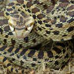 ثعبان الغوفر . . . Gopher Snake