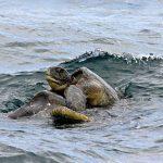 كيف يتم تزاوج السلاحف ؟