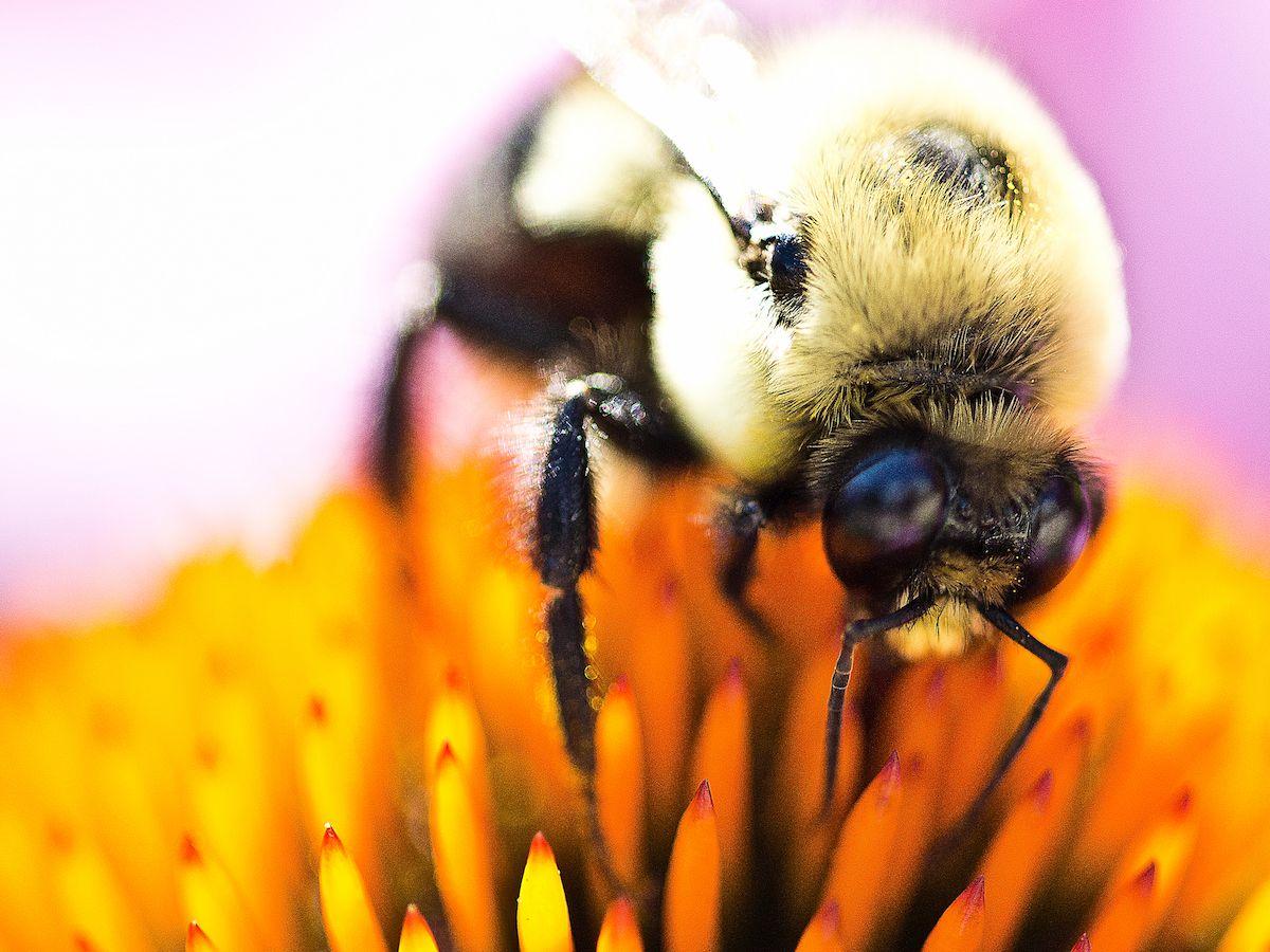 معلومات عن النحلة الطنانة
