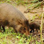معلومات عن خنزير قزم … الخنزير البري القزم