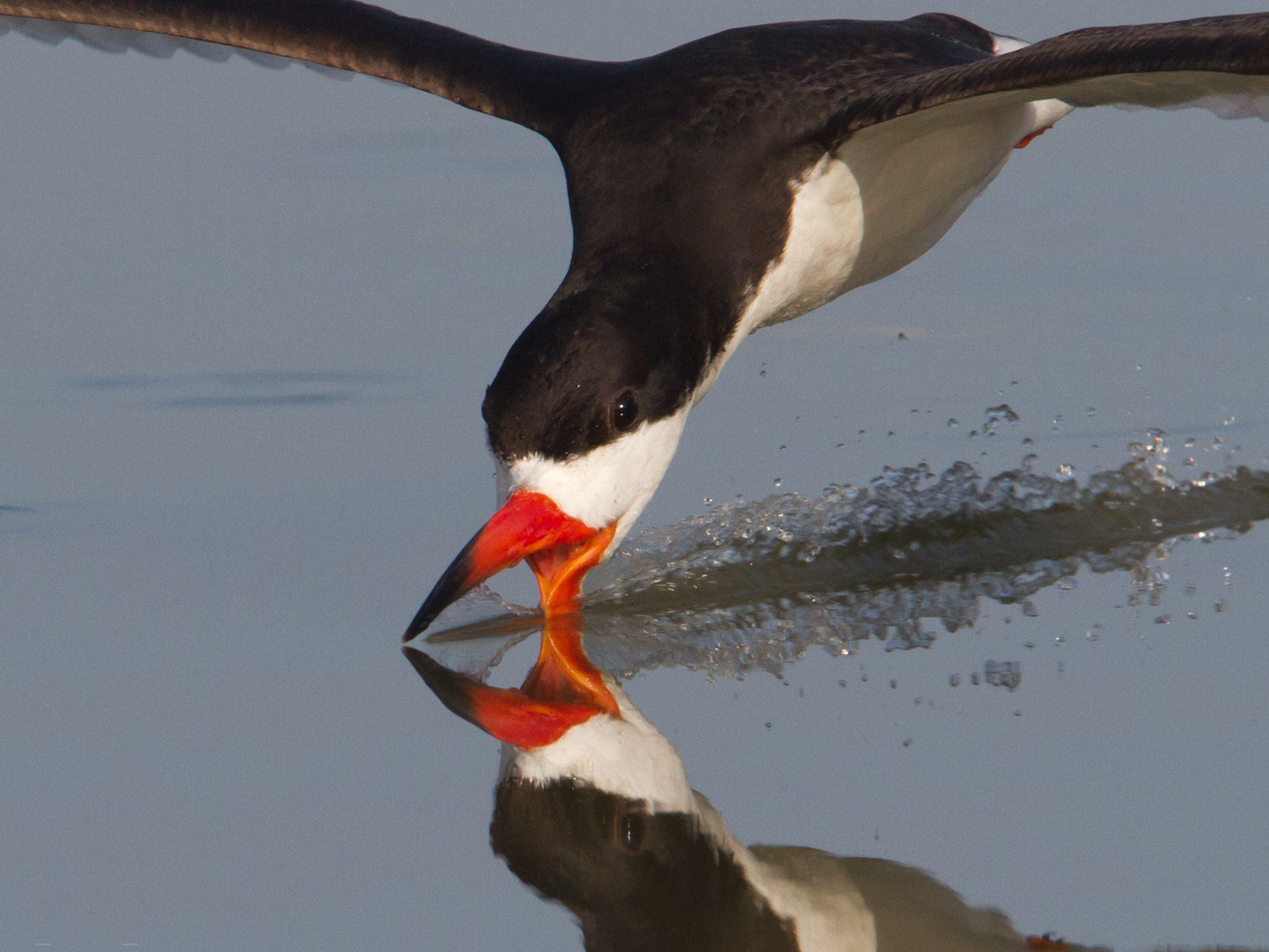 معلومات عن طائر الكشاط Black-skimmers-are-migratory-birds.-They-spend-winter-on-the-Caribbean-and-on-the-subtropical-coasts-of-Pacific-Ocean.