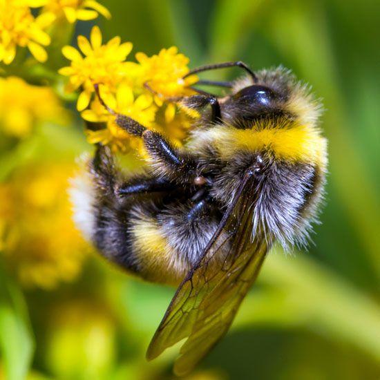النحلة الطنانة