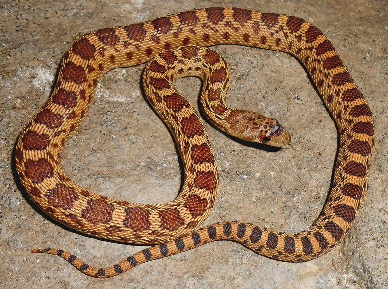 Gopher snakes