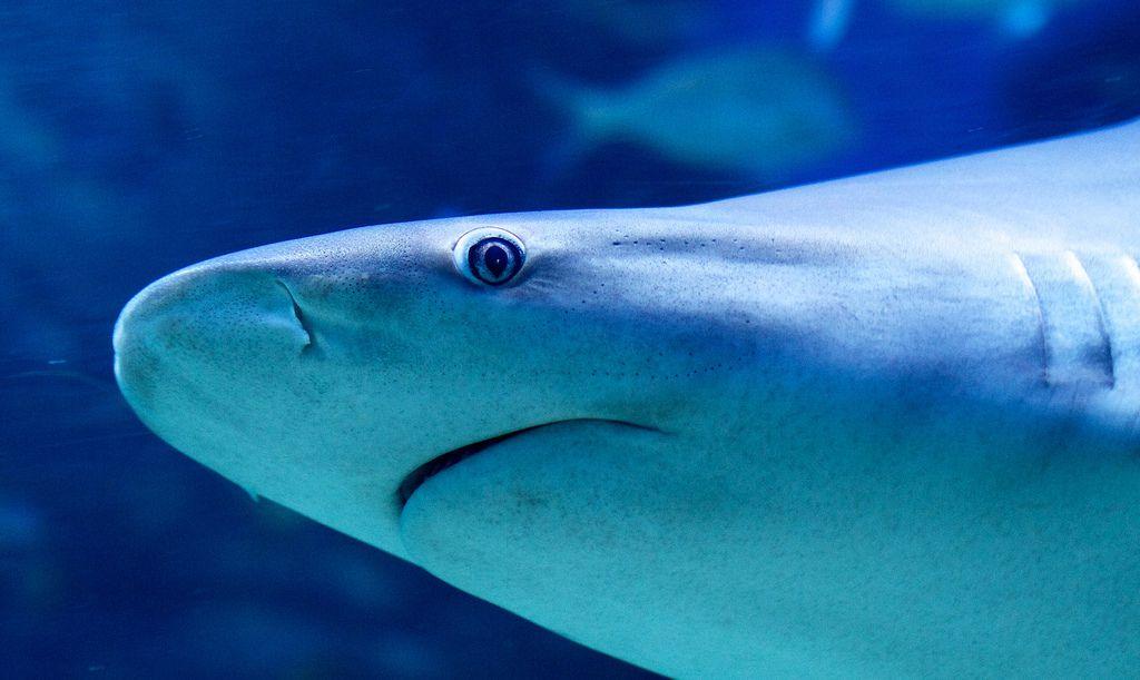 القرش النهري ذو الأسنان الرمحية
