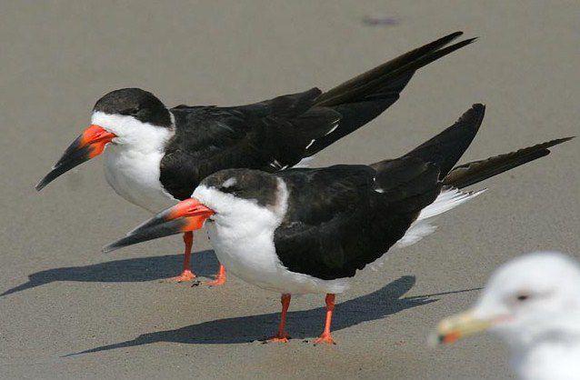 الحيوانات المفترسة الرئيسية لطائر الكشاط