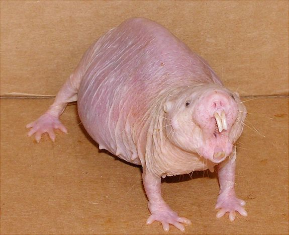 Naked mole rats size