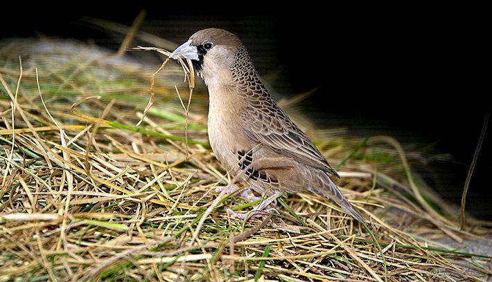 الحيوانات المفترسة الرئيسية لـ طيور مؤنس ويفر