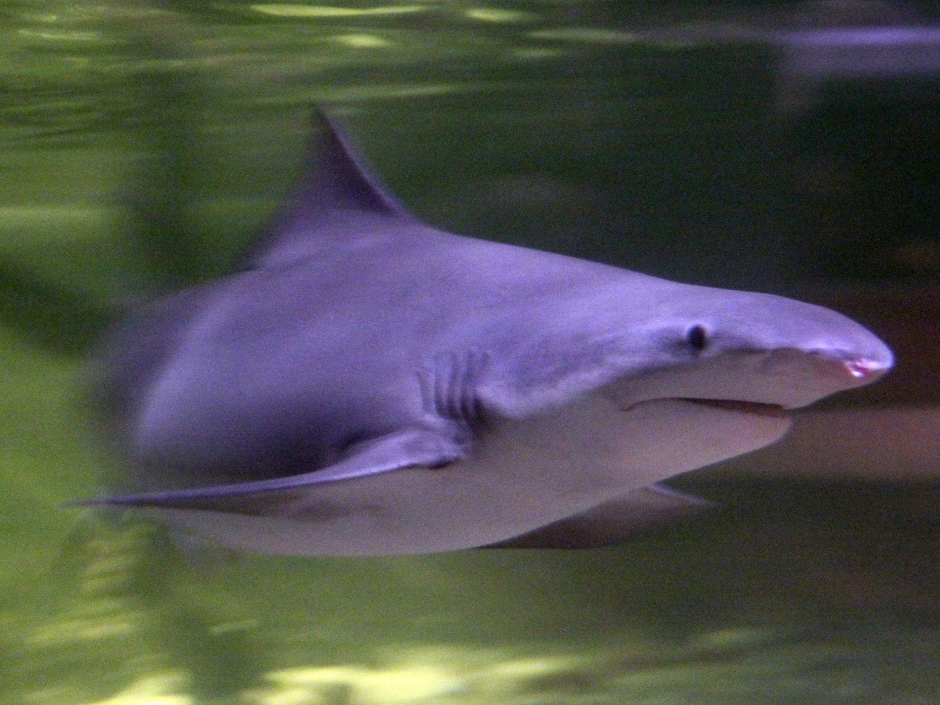 معيشة القرش النهري ذو الأسنان الرمحية