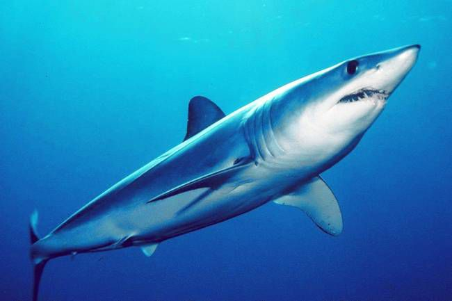 Life span of speartooth shark is unknown