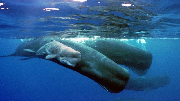 ���� ������ Sperm-whale-is-the-l