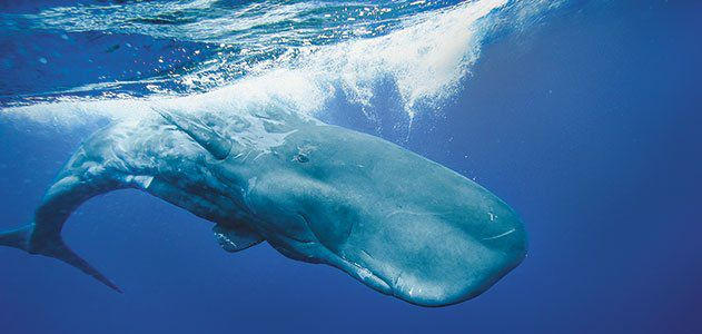 Sperm whales live