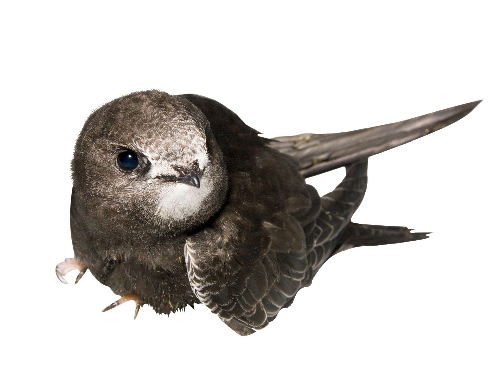 غذاء طائر السمامة