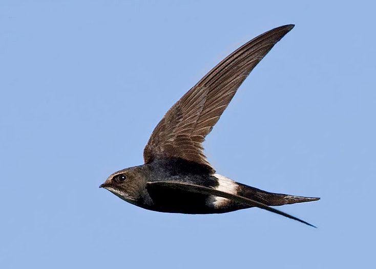 الحيوانات المفترسة الرئيسية لطائر السمامة