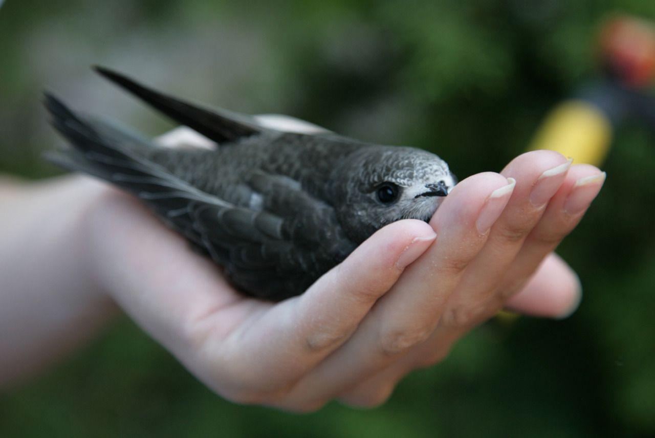 طائر السمامة