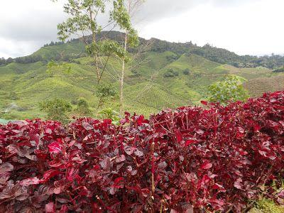 الانشطة السياحية كاميرون هايلاند بالصور Tea-plantations.jpg