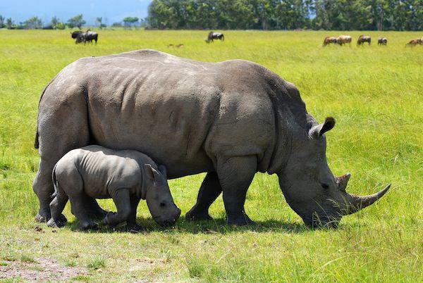 فترة حمل وحيد القرن