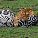 ماهو الحيوان الذي إذا جاع يأكل صغاره ؟