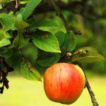حقيقة قصة نيوتن والتفاحة