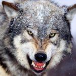 ماهو اسم صوت الذئب