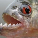 فيديو هجوم سمك البيرانا على شاطئ في امريكا الجنوبية
