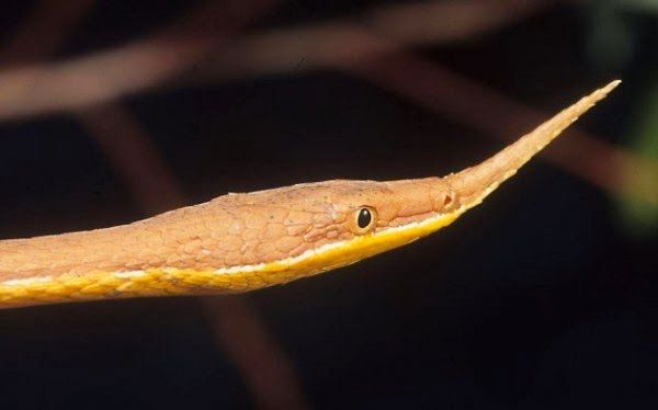 Malagasy Leaf-nosed Snake