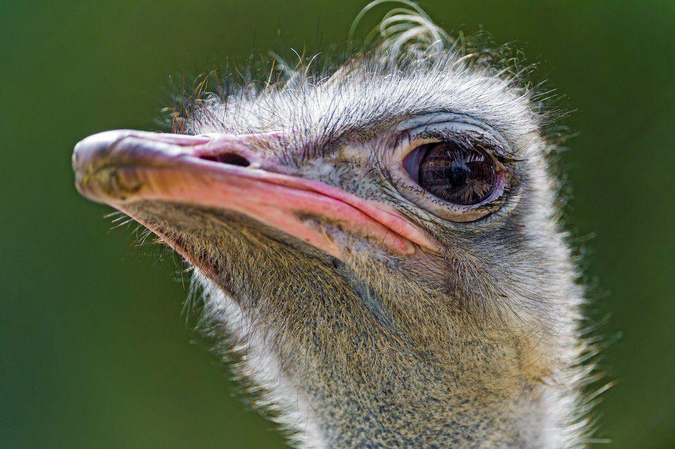 an-ostrich