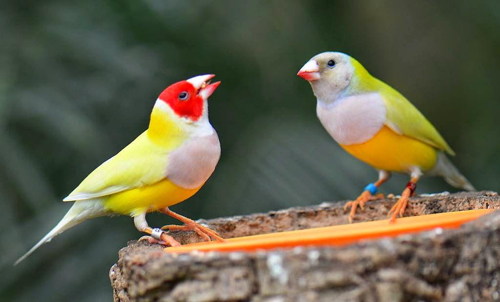 طيور الشرشوريات