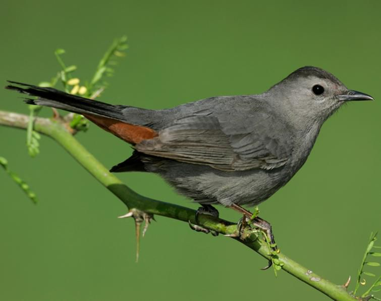 Gray catbird is diurnal animal