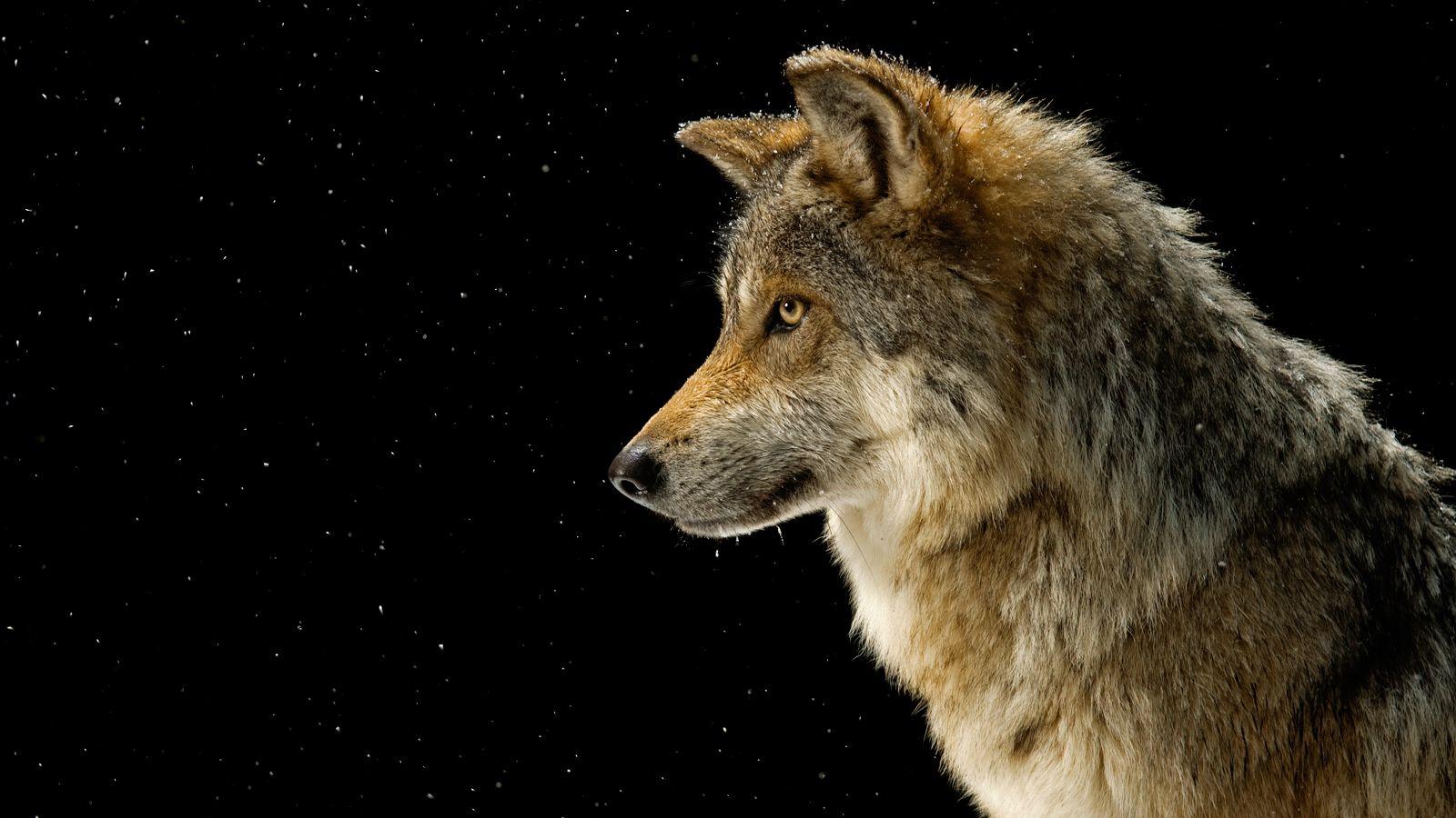 عمر الذئب