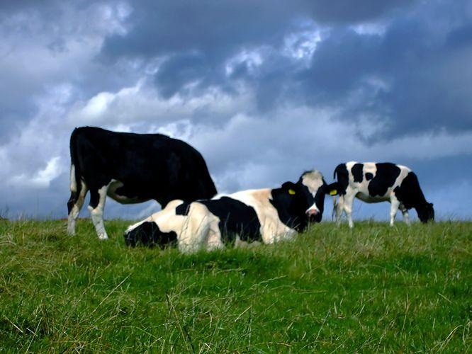 البقر