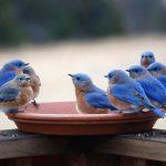 صور ومعلومات عن العصفور الأزرق الشرقي