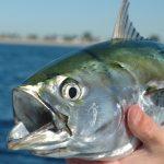 صور ومعلومات عن سمك الباكور