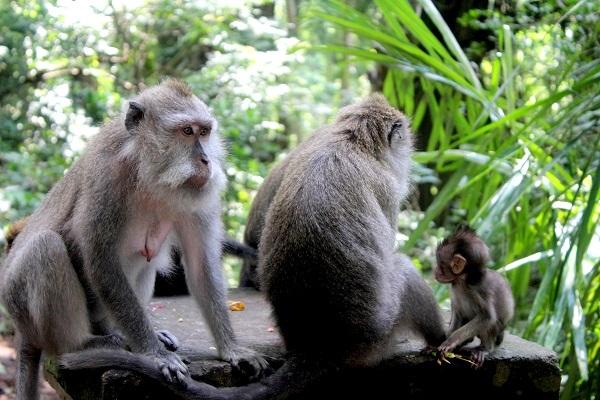 محمية القرود في بالي