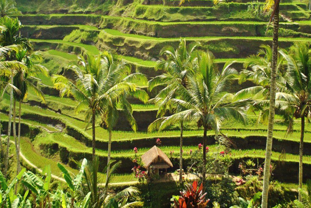 مدرجات الأرز في بالي