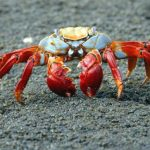 سرطان Sally Lightfoot Crab - 420404