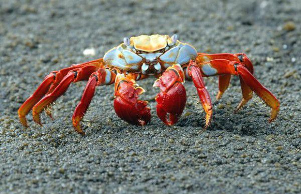 سرطان Sally Lightfoot Crab